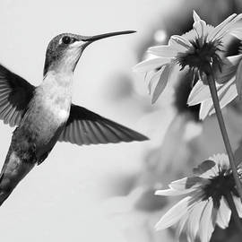 Hummingbird in Black and White by Stamp City
