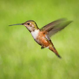 Hummingbird In Flight by Denise Bird