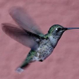 Edward Dobosh - Hummingbird in Flight G-CN8