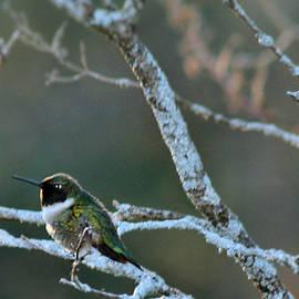 Sandra Huston - Hummingbird in Spring 2
