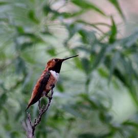 Edward Dobosh - Hummingbird in Tree G-CN3