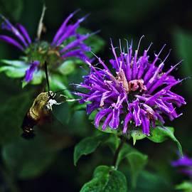 Hummingbird Moth 2 by John Feiser