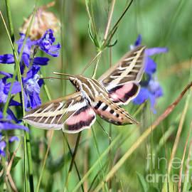 Brad Christensen - Hummingbird Moth