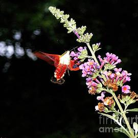 Christy Ricafrente - Hummingbird Moth