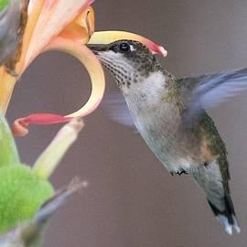 Hummingbird on Canna Lily by Mary Ann Artz