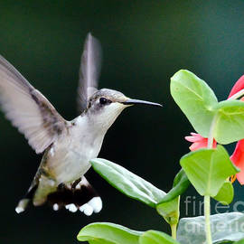 Kerri Farley - Hummingbird On The Approach