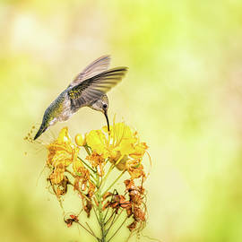 Hummingbird on Yellow  by Saija Lehtonen