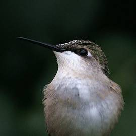 Hummingbird Portrait by Alan Skonieczny