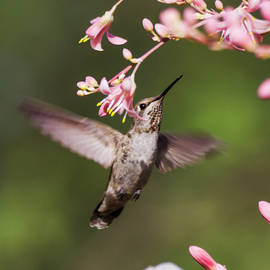 Hummingbird surrounded by pink  by Ruth Jolly