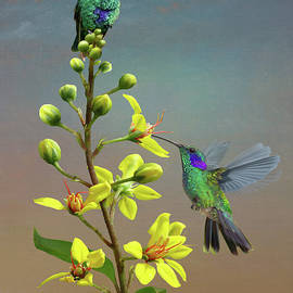 Hummingbirds and Thryallis by M Spadecaller