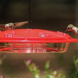 Cynthia Guinn - Hummingbirds At Feeder