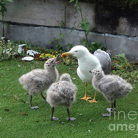 Hungry Baby Seagulls by Cindy Murphy