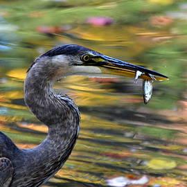 Colleen Phaedra - Hungry Heron