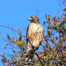 Michael Morse - Hunting Hawk