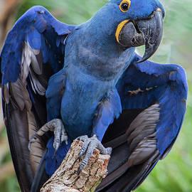 Jeff Breiman - Hyacinth Macaw
