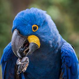 Hyacinth Macaw by Patti Deters