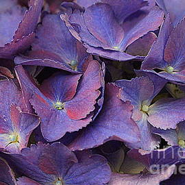 Dora Sofia Caputo Photographic Art and Design -  Hydrangeas in Shades of Purple and Blue