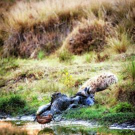 Hyena Scavenger With Wildebeest Carcass - Susan Schmitz