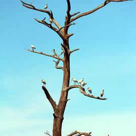 Ibises On Bare Tree