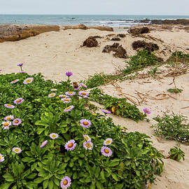 Ice Plant Booms on Pebble Beach by Patti Deters