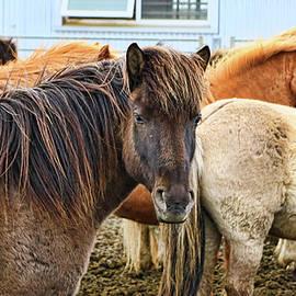 Allen Beatty - Icelandic Horses # 1