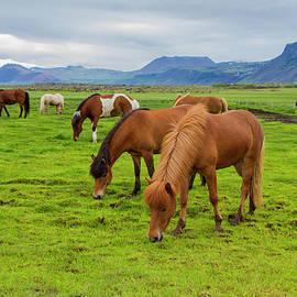 Venetia Featherstone-Witty - Icelandic Horses