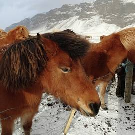 Andy J Gill - Icelandic Horses #4