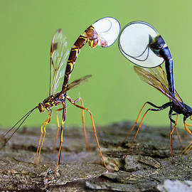 Ichneumon wasps by Mircea Costina Photography