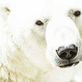 Icy Stare of a Polar Bear by Ruth Jolly