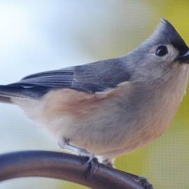 Tufted Titmouse by Eileen Brymer