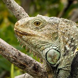 Iguana by Frank Mari