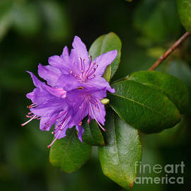 Ilam Violet by Chris Anderson