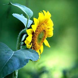 Travis Truelove - IMG_2415 - Sunflower