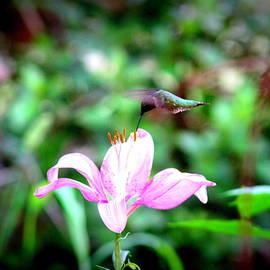 Travis Truelove - IMG_4940-004 - Ruby-throated Hummingbird