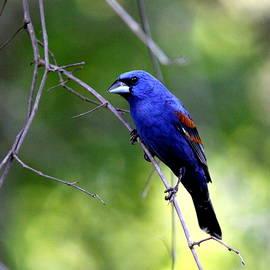 IMG_5699-002 - Blue Grosbeak by Travis Truelove