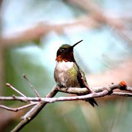 IMG_6104 - Ruby-throated Hummingbird