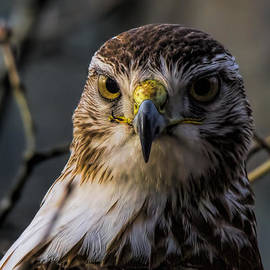 Immature Red-tailed Hawk by Barbara Bowen