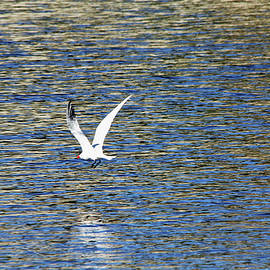 Debbie Oppermann - In Flight Caspian Tern