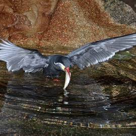 Richard Bryce and Family - Inca Tern Catches a Fish