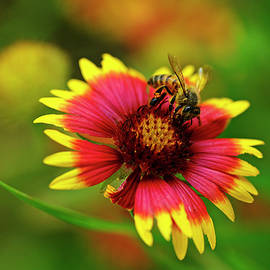 Indian Blanket Bee by Bill Morgenstern