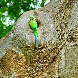 Craig Wood - Indian Green Parrot