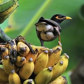Heidi Fickinger - Indian Myna on Banana Bunch