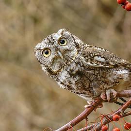 LeeAnn McLaneGoetz McLaneGoetzStudioLLCcom - Inquisitive Screech Owl