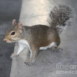 John Telfer - Inquisitive Squirrel