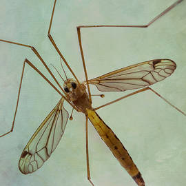 Patti Deters - Insect Abstract - Crane Fly