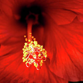 Don Johnson - Inside a Red Hibiscus