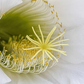 Inside of an Echinopsis  by Ruth Jolly
