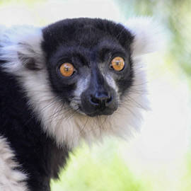 Intrigued by a Lemur  by Ruth Jolly