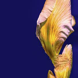 Leif Sohlman - Iris beginning to bloom #g0