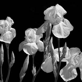 Iris Flowers in The Garden Black and White by Jennie Marie Schell